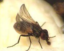 Krulvliegen ( vlieg met gekrulde vleugel)