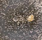Springstaartjes voedseldier